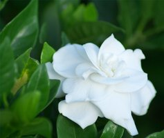 Gardenias can bloom year round in certain climates.