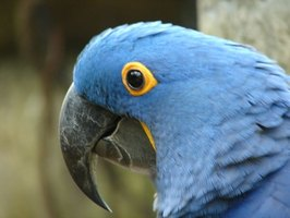 Macaw Parrot Facts