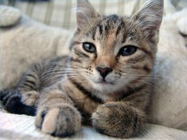 Cat Urinary Tract Infection Symptoms