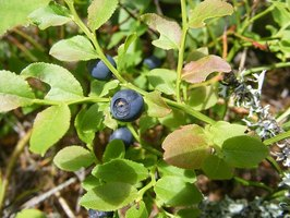 Bilberry for Dogs