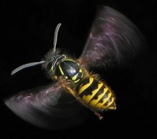 How Long Can Dead Wasps Sting?