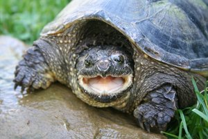 Types of Snapping Turtles