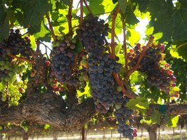 Clusters of wine grapes on the vine
