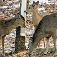 Deer gather around a corn feeder where corn collects in the Y joint from pipe above.