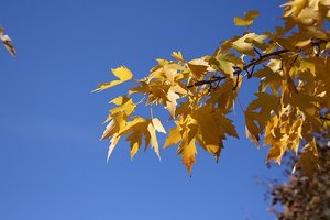 Maple Trees Information