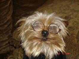 Glasses won't help a dog with cataracts.