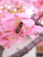 Pollination of a cherry blossom