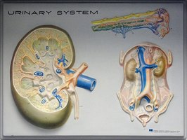 Diagram of the kidney