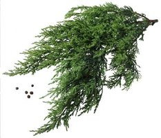 Junipers have characteristic needles and feathery looking foliage.