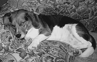 Phenobarbital often causes drowsiness in dogs.