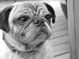 Hair loss in pugs may point to a more serious condition.