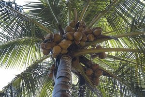 Coconut palm tree with coconuts.