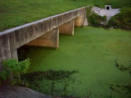 Algae blooms can cause significant damage to acquatic wildlife.