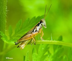 Grasshoppers are commonly spotted in tall grass as adults.