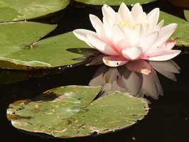 Still waters are one of the secrets to keeping water lilies afloat.