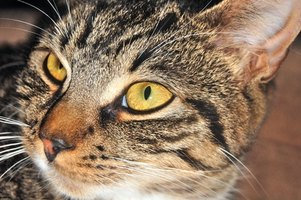 Older cats are susceptible to vestibular syndrome.