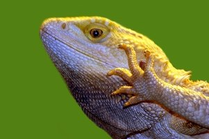 Lizard wounds require immediate treatment to avoid infection