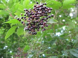 All parts of the elderberry plant, when eaten, can cause a stomach ache. Cook fruits first.