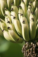 North America's yellow darling, the Cavendish banana, might eventually succumb to Panama disease.