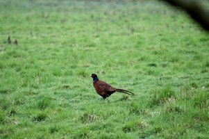 Pheasants are one of the most sought after upland game bird species.