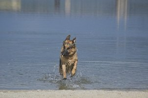 German shepherds are a breed police use in K-9 units.