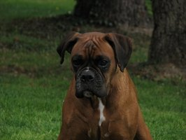 Cute and personable, boxers may need allergy relief.