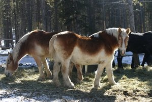 Draft horses need special care.