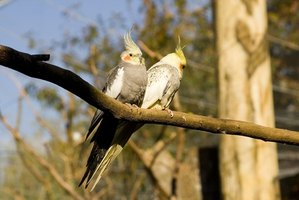 Cockatiels can spread scaly feet mites to other birds.