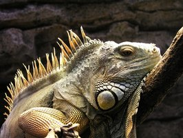 Iguanas eat fruits and vegetables.