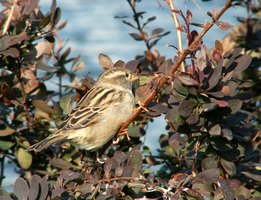 Sparrows thrive as the most common songbird in the world.