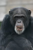 Chimps usually try to avoid a fight but will defend themselves when necessary.