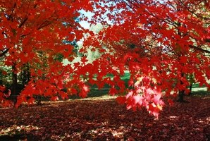 Few things are more beautiful than a maple shade tree in your home landscape.