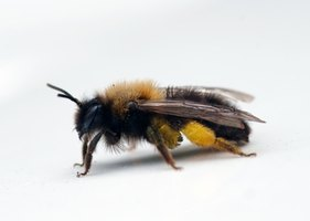 A honey bee with a full pollen basket on its back leg.