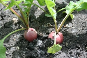 The use of fertilizers can increase radish size and growth rate.