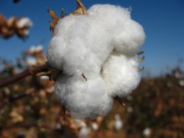 The production of cotton fiber like this is generally seen only in domesticated plants.