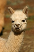 An alpaca's thick coat can hide skin maladies.