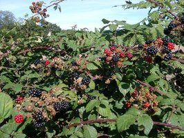 Blackberries grow in tangled thickets if not pruned yearly.