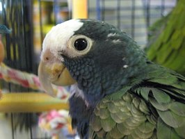 Parrots make great pets but have specific housing needs.