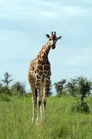 No two giraffes have the same spots.
