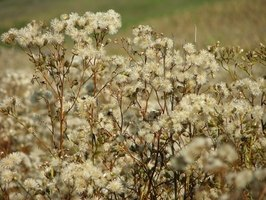 Russian thistles are most commonly known as tumbleweeds.