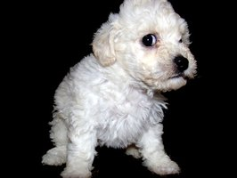 Start grooming your poodle puppy as soon as possible.