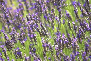 The fragrance of lavender plants is used to promote relaxation in aromatherapy.
