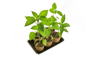 Clean, sterile potting soil can get your plants off to a good start by making sure there are no weeds or disease for the new plants to compete with.