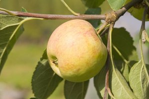 Grow healthy apple trees in Texas with attentive care.