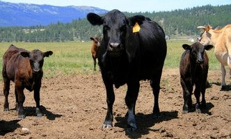Cattle infected with tapworms can pass the parasite to humans.