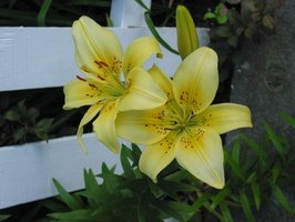 Lilies growing beside a fence