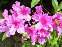 Azalea shrub with pink blooms.