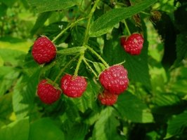 Vine-ripe raspberries are delicious and sweet.