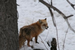 The red fox is an omnivore.