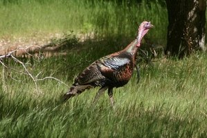 Slate, pot or peg calls are among the most popular calls for turkey hunters.